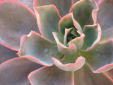 Echeveria Moonglow Succulent Plant