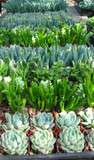 100 Mini  Wedding Favors Succulent Plants