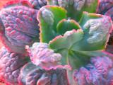 Echeveria Gibbiflora Paul Bunyan Succulent Rosette