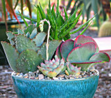 Large succulent dish garden in a ceramic pot
