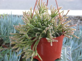 Hanging Mini  Rat Tail Aporocactus Plant