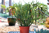 Euphorbia Tirucalli Green Medium Succulent Plant