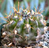 Neochilenia Huascensis cactus plant