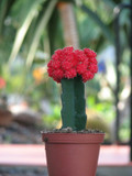 Grafted Red large Moon Cactus