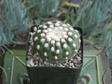 Notocactus Ueblemannious Cactus Plant