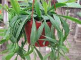 ephiphyllum cactus plant