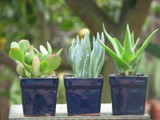10 Mini Succulent  Plants in Square Ceramic Pot