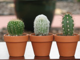 10 Mini Cactus in Terra Cotta Container Favors