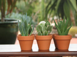 10 Mini Succulents in Terra Cotta Container Favors