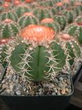 Melocactus Matanzanus Cactus Plant