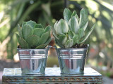 10 Tin Silver Bucket Succulents Sample Mini Plant Party Favors