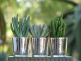 10 Silver Glass Mini container with Succulent Plant