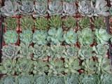Premium Oversized Succulent Rosette succulent plants