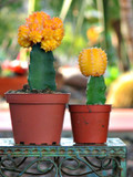 Grafted Yellow  Combo Cactus Plant