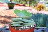Crassula Tom's Pagoda