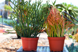 Euphorbia Tirucalli Fire Stick and Green Medium Succulent Plant COMBO
