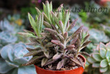 Kalanchoe Mother of Millions Succulent Plant