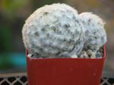 Mammillaria Plumosa Cactus Plant