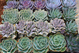 Echeveria Rosettes 25  Plants 4 inch Wedding Centerpieces