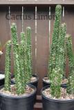 Alluaudia Procera Succulent Plant