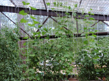 Here you can see a group of the spools supporting vining plants. One spool of string and several clips will be required for each plant such as tomato, cucumber, peas, etc. Other plants which tend to flop over, such as eggplant and peppers can also be supported using the trellis spools.
