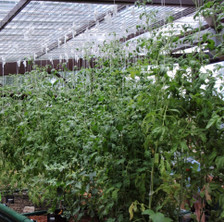 A bed of tomato plants supported by trellis spools. The spools are suspended from a grid attached to the roof of the greenhouse.