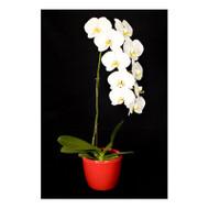 Oriental Waterfall Orchid (Phalaenopsis)