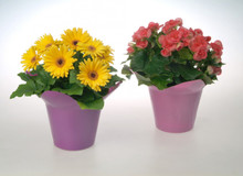 Our wonderful 6 inch potted plants are contained with a seasonal pot cover to bring instant smiles and good feelings