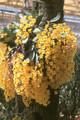 Dendrobium aggregatum (med)