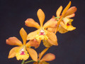Orchid of the month (6 shipments)
