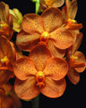 V. Viboon Sunset 'Spotted Tangerine'