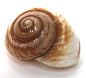 "Polished Brown Land Snail Shell 3 ""+"