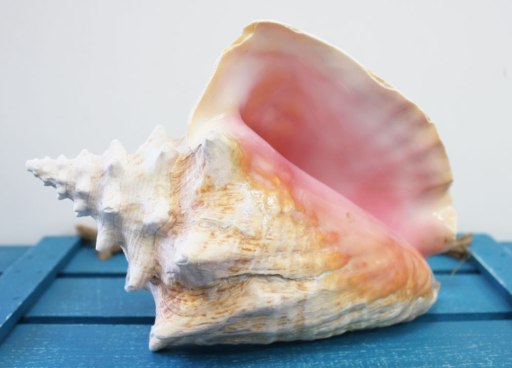 Pink Conch Slit Back Shell Queen Conch California