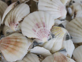 Colorful Pectin Craft Seashells - 1 Pound