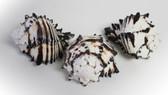 Black Murex Seashells