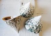 """Green Trochus Seashells 2.5"""""""