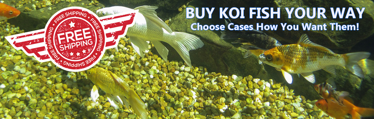 Koi Fish for Sale with Free Shipping!
