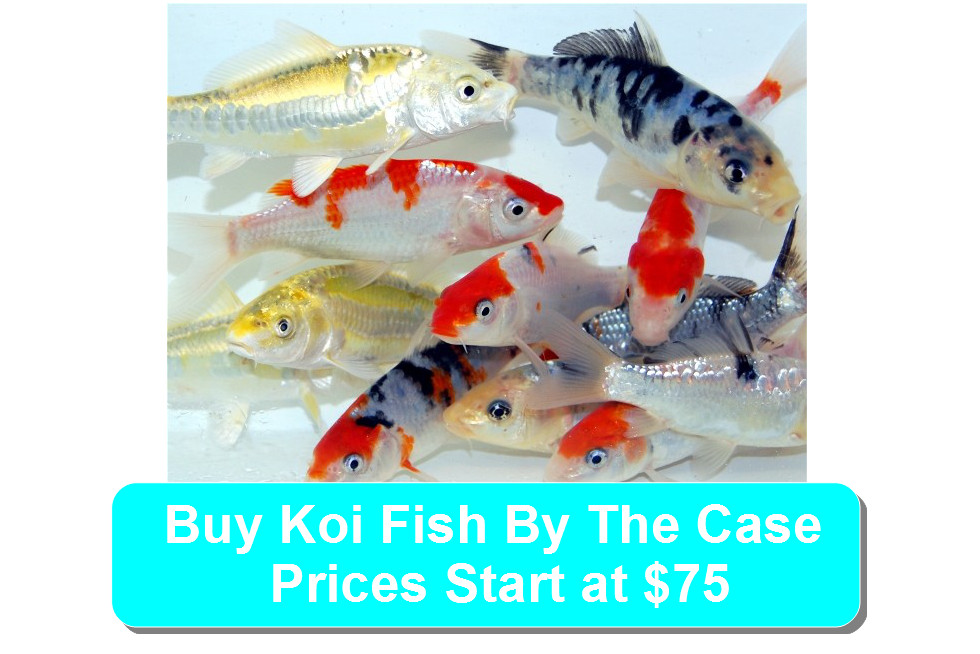 koi fish by the case