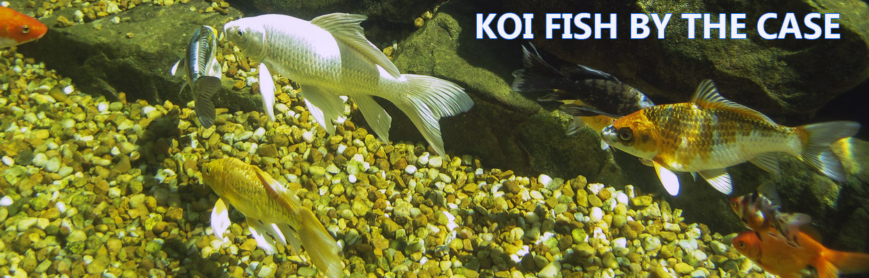 koi fish for sale with low shipping