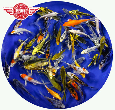 3-4 Butterfly Koi Standard Grade Ship for FREE!