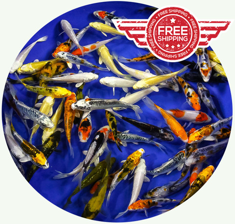 3-4 inch Regular Koi Premium Grade Ship for FREE!