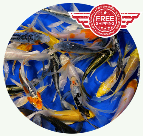 Koi for sale free shipping at for Bulk koi fish for sale