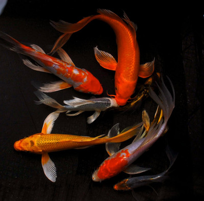 Sarasa goldfish for sale for Large butterfly koi for sale