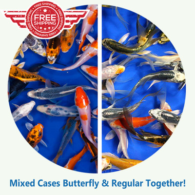 Koi Fish For Sale.  Butterfly & Regular Fin.  Angel Fin koi and Regular Fin Koi.  Mixed cases of Butterfly and Regular Fin Koi Standard Grade Ship for Free!