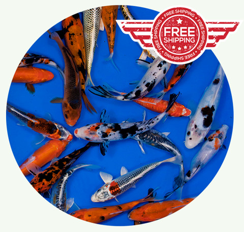 6 to 8 inch Standard grade Regular Koi on sale with FREE shipping!