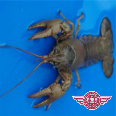 LIVE Crayfish - 25 count - FREE SHIPPING