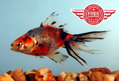 Calico Fantail Goldfish - FREE SHIPPING & ON SALE