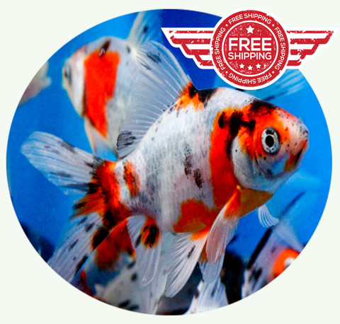 Fancy goldfish for sale shubunkin goldfish for sale for Mosquito fish for sale