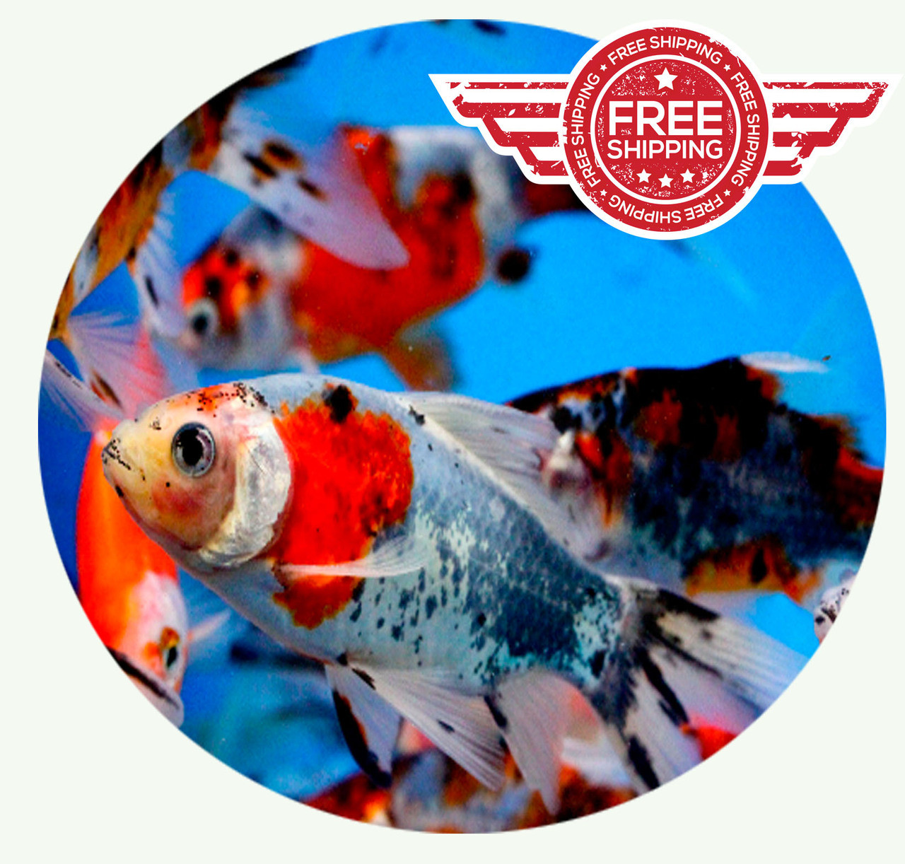 Fancy goldfish for sale shubunkin goldfish for sale for Fish for sale near me