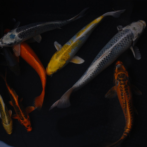 Standard Koi in a variety of colors